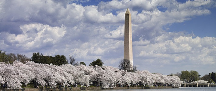 Washington Monumnet Cherry Blossoms Washington DC 2017